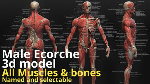 3d Male Ecorche reference model - Seperated and named Parts