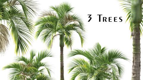 Set of Umbrella palm Tree (Hedyscepe canterburyana) (3 Trees)