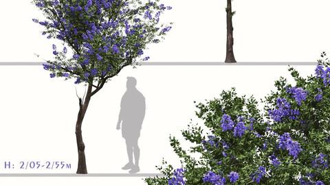 Set of Ceanothus Tree (Trewithen Blue) (2 Trees)
