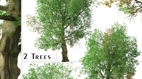 Set of Platanus orientalis Tree (Old World sycamore) (2 Trees)