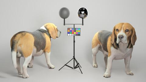 Beagle dog 09