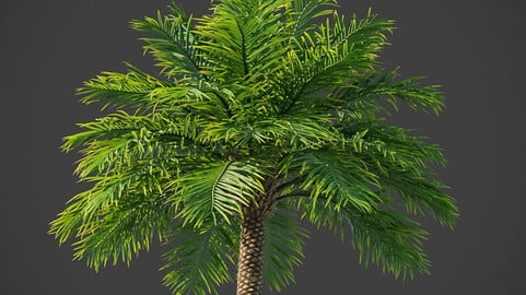 Xfrogplants Date Palm - Phoenix Dactyliera