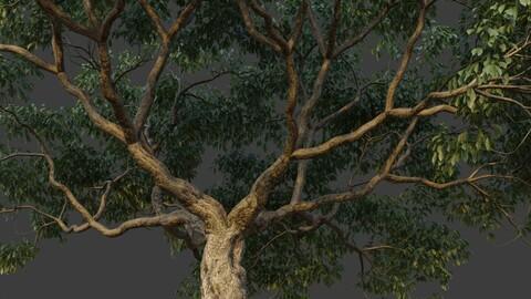 XfrogPlants Southern Live Oak - Quercus Virginiana