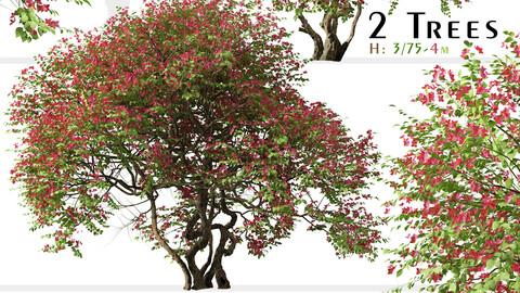 Set of Bougainvillea spectabilis Tree (Santa Rita) (2 Trees)