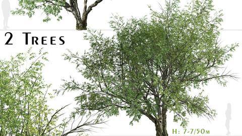 Set of California bay laurel Tree (Umbellularia californica) (2 Trees)