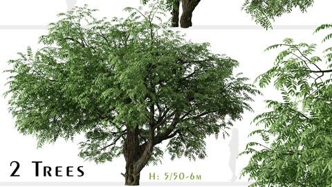 Set of California black walnut Tree (Juglans californica) (2 Trees)