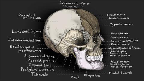 SKULL | Medical illustration