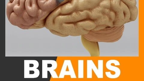 Human Brain - Anatomy