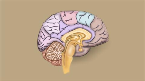Brain | Medical illustration | Indexed