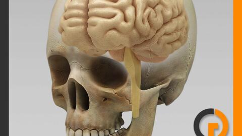 Human Brain and Skull - Anatomy