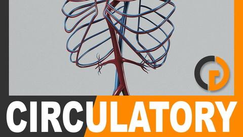 Human Circulatory System - Anatomy
