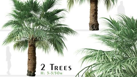Set of Blue Hesper Palm Tree (Brahea armata) (2 Trees)