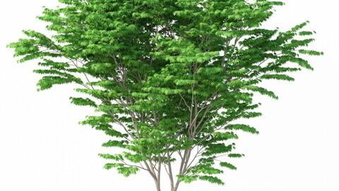 Tree - Acer Palmatum No 1