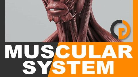 Human Muscular System - Anatomy