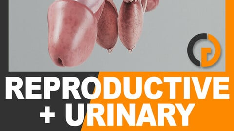 Human Male Urinary and Reproductive System - Anatomy