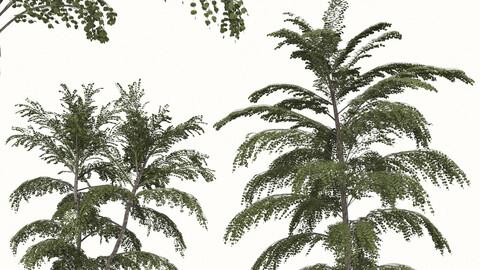Set of Cercidiphyllum japonicum Tree ( Katsura ) (2 Trees)
