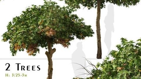 Set of Liquidambar styraciflua Tree ( Sweetgum ) ( 2 Trees )