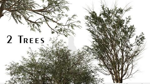 Set of Ghaf Tree (Prosopis cineraria) (2 Trees)