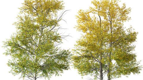 Set of Quaking aspen Tree (Populus tremuloides) (2 Trees)