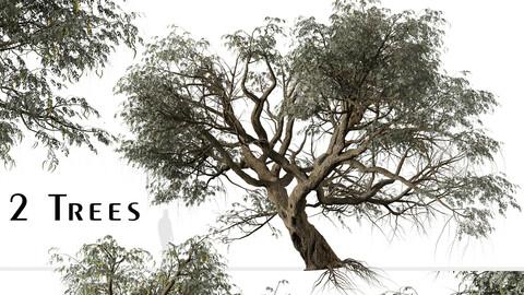 Set of Ghaf Tree ( Jand ) (2 Trees)