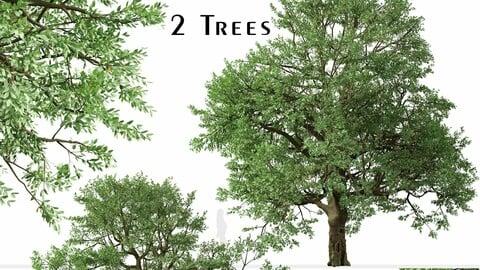 Set of Phellodendron amurense Tree (Amur cork) (2 Trees)