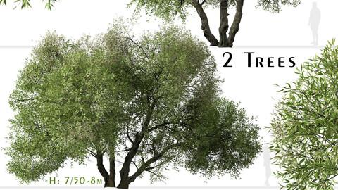 Set of Salix lasiolepis Tree (Arroyo willow) (2 Trees)