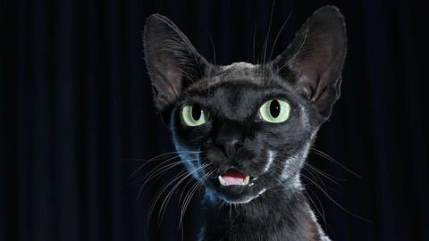 Cat Black Fur Shorthair XGen Core