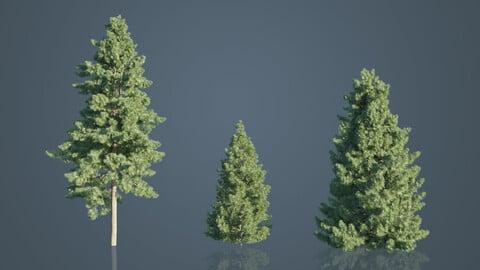 Japanese Umbrella Pine Trees