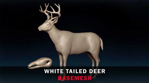 White Tailed Deer Basemesh 3D model