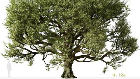 Acer macrophyllum Tree (Bigleaf maple) (1 Tree)