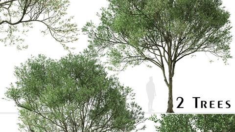 Set of Siberian elm Trees (Ulmus pumila) (2 Trees)