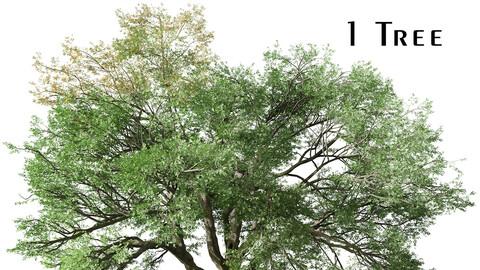 Valley oak Tree (Quercus lobata) (1 Tree)