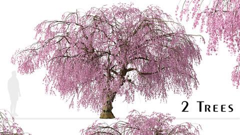 Set of Weeping Higan Cherry Trees (Prunus subhirtella Pendula) (2 Trees)