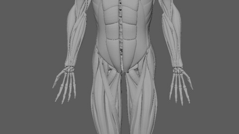 3D muscle and bone