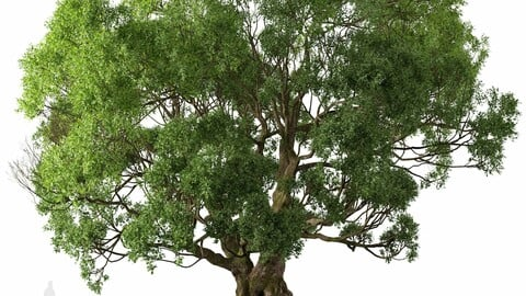 Cinnamomum camphora Tree ( Camphor ) (1 Tree)