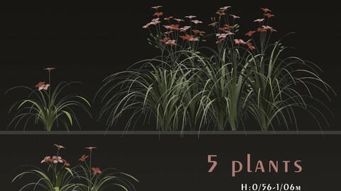 Set of Hemerocallis Fulva Flowering plants (Orange daylily) (5 Plants)
