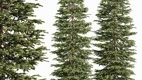 Black Spruce Picea Mariana Pine