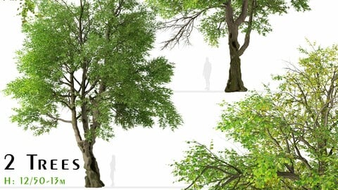 Set of Oregon ash Tree (Fraxinus latifolia) (2 Trees)
