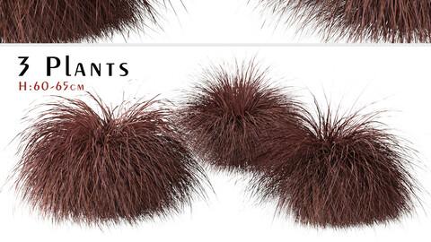Set of Carex comans Plants (New Zealand Hair Sedge) (3 Shrubs)