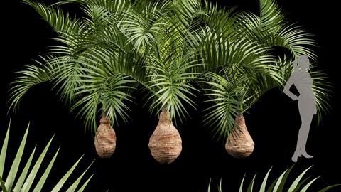 Bottle palm tree hyophorbe lagenicaulis