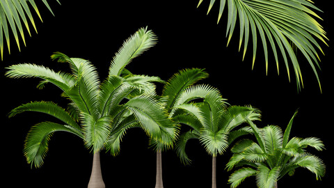 Bottle Palm Tree Hyophorbe lagenicaulis Tall