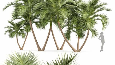 Manila Palm Adonidia Veitchia Merrillii Backyard