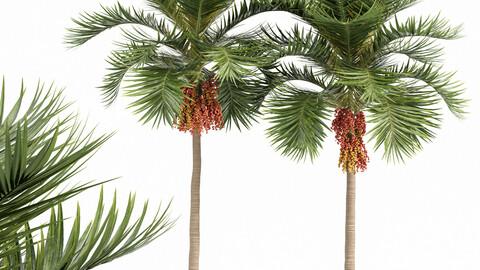 Christmas Palm Manila Palm Adonidia Veitchia Merrillii