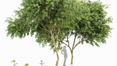 Big Joy Perfume Orange Michelia Champaca Tree