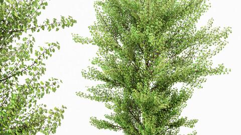 Maidenhair Tree Ginkgo Biloba Gardens