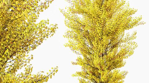 Maidenhair Tree Ginkgo Biloba Fall Gardens