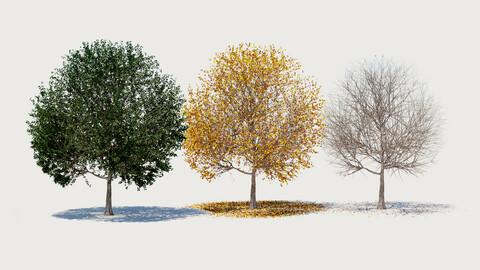 4 seasons ELM tree collection