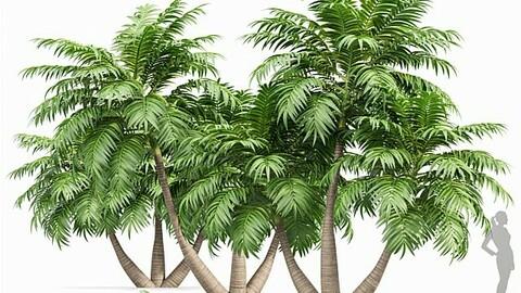 Manila Palm Adonidia Veitchia Merrillii Garden