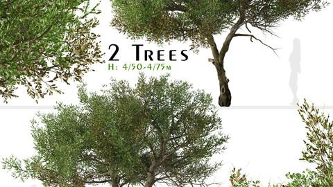 Set of Mountain Mahogany Tree (Cercocarpus) (2 Trees)