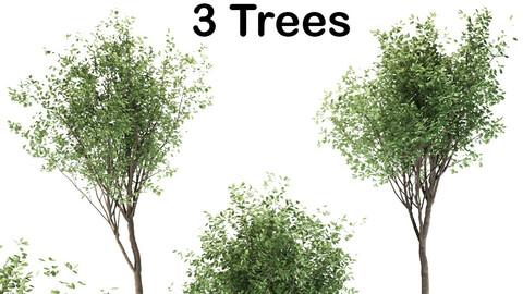 Loquat tree (3 Trees)